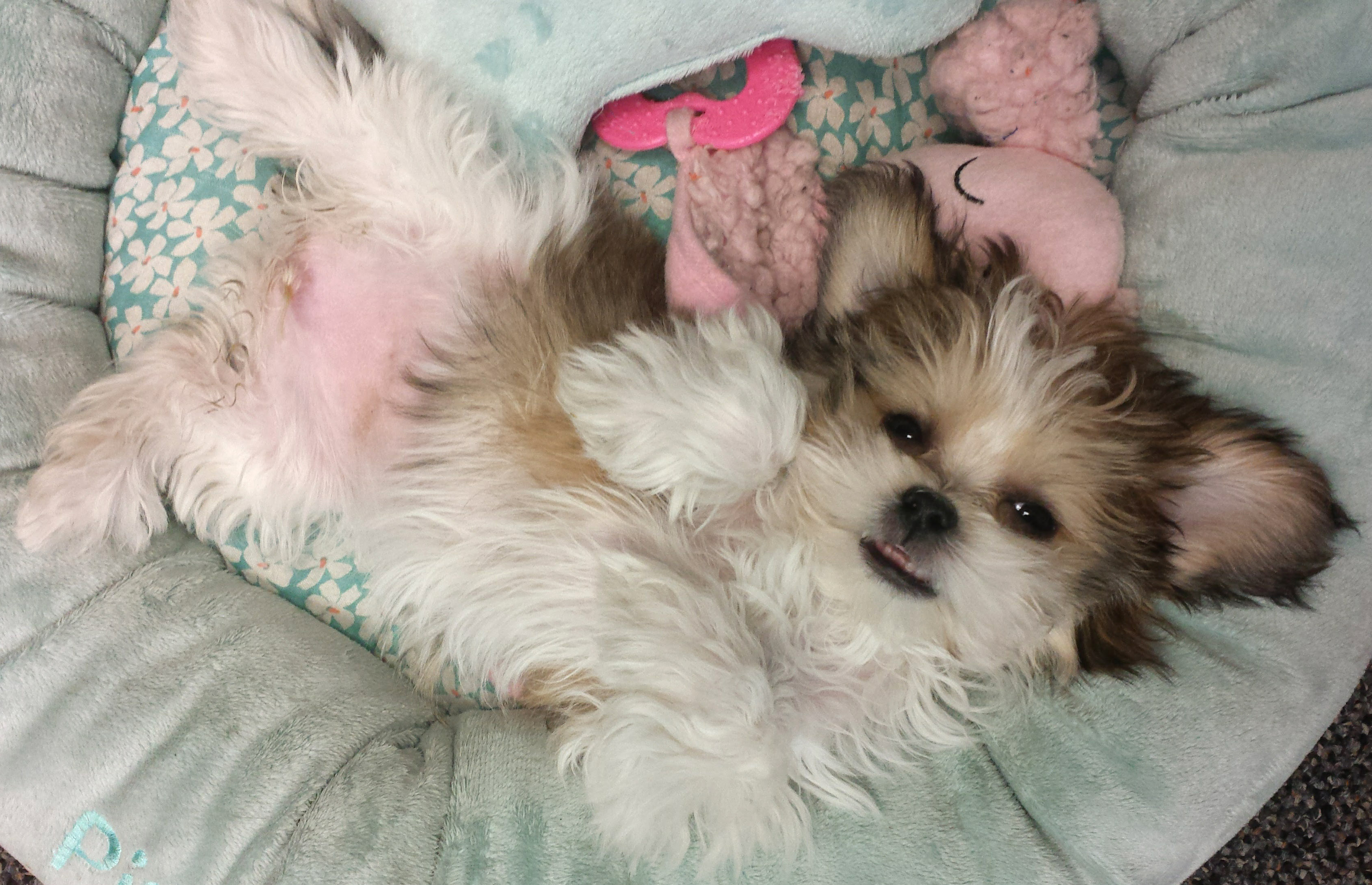 How To Care For Your New Mi Ki Puppy